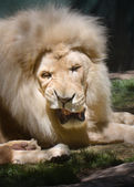 Lion at Siefried & Roy's Secret Garden, Las Vegas. — Stok fotoğraf