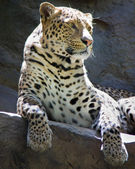 Leopard at Siefried & Roy's Secret Garden, Las Vegas. — Stock Photo