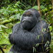 Male silverback mountain gorilla. — Stock Photo