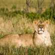 Lioness basking in sun, eyes closed. — Stock Photo