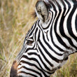Close up of zebra grazing. — Foto de Stock