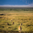 Lion pride on the hunt, Ngorongoro Crater. — Stock Photo