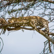 Leopard in tree with warthog kill, Maasai Mara National Reserve. — Stock Photo