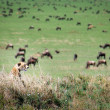 Stock Photo: Cheetah stalks wildebeest, Serengeti.