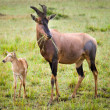Adult and infant topi, Maasai Mara. — Stock Photo