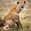 Stock Photo: Spotted hyena makes eye contact.