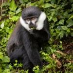 L'Hoest's monkey in the wild, Rwanda. — Stock Photo