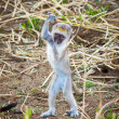 Infant vervet monkey makes rude gesture! — Stock Photo #32625445