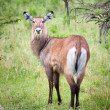 Female waterbuck, Serengeti. — Stock Photo
