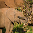 Baby elephant hides behind its own trunk. — Stock Photo