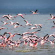 Lesser Flamingos in flight at Lake Nakuru. — Stock Photo