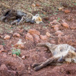 Juvenile hyenas sleeping in dirt. — Photo