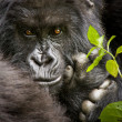 Portrait of male silverback mountain gorilla. — Stock Photo #32625577