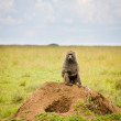 Stock Photo: Baboon on termite mound.
