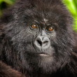 Stock Photo: Juvenile mountain gorillstaring.