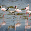 Lesser Flamingos at Lake Nakuru. — Stock Photo