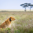 Lioness in collar, Serengeti. — Stock Photo