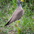 Wattled Lapwing in the Serengeti. — Stock Photo