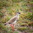 Crowned Lapwing in grass. — Stock Photo