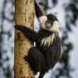 Stock Photo: Colobus monkey climbing in Nyungwe Forest, Rwanda.