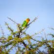 Stock Photo: Fischer's Lovebird in treetop.