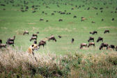 Cheetah stalks wildebeest, Serengeti. — Stock Photo