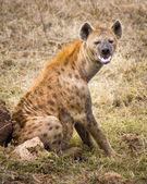 Spotted hyena makes eye contact. — Stock Photo