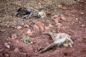 Juvenile hyenas sleeping in dirt. — Stock Photo