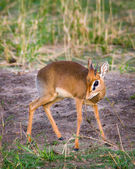 Dik dik poses sweetly. — Stock Photo