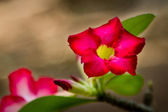 The brilliantly colored Desert Rose. — Stock Photo