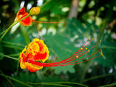 A brilliantly-colored Dwarf Poinciana, also called Peacock Flowe — Stock Photo