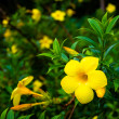 Yellow Ruk Aththana flowers covered in dew. — Stock Photo