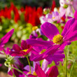 Colorful flowers in garden — Stock Photo