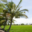 Coconut palms on the green field — Stock Photo