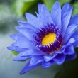 Blue Lotus flower — Stock Photo #28455915