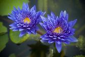 Blue Lotus flower — Stock Photo