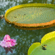Victoria Regia - the largest water lily in the world — Stock Photo