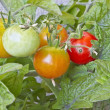 Ripening tomatoes — Stock Photo