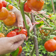 Gathering ripe tomatoes — Stock Photo