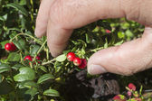 Hand pluck cranberries — Stock Photo