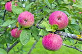 Apples on a branch — Stock Photo