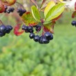 Stock Photo: Chokeberry berries