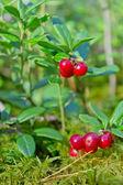 Cespuglio di mirtillo rosso — Foto Stock
