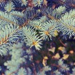 Spruce branches — Stock Photo #38668931