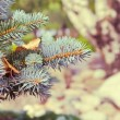Spruce branches — Stock Photo #38668933
