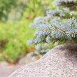 Spruce branches — Stock Photo #38668975