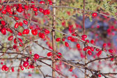 Barberry berries — Stockfoto