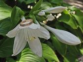 три лилии и золотое кольцо — Стоковое фото