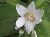 White water lily with a ring — Stock Photo