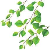 Birch branches — Stock Vector